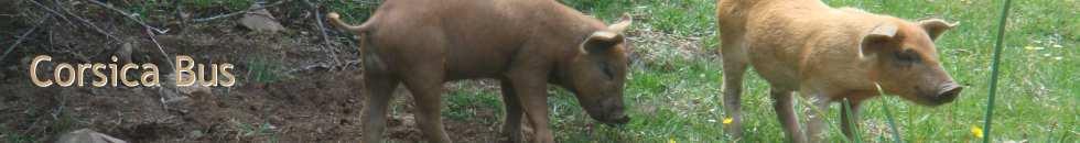 cochons corses en liberté